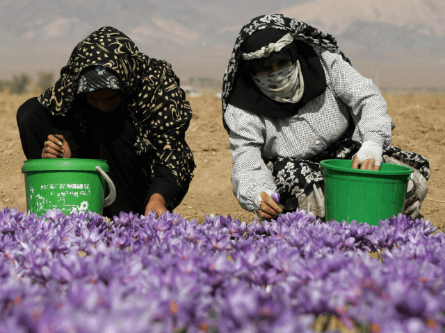 Iranian women wearing chadors pick saffron flowers on a farm in Shahn Abad village, near the town of Torbat-e Heydarieh, northeast of Iran, 31 October 2006. Despite Iran's status as the undisputed heavyweight champion of the saffron world, it has yet to realize the full economic potential of the 3,000 …