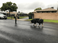 San Bernadino Deputies Use Doritos to Capture Pig