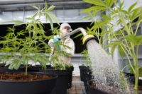An employee of cannabis start-up Up waters a marijuana plant in Lincoln, Canada