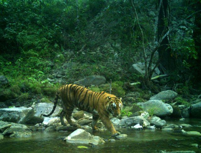 Crouching tigers, hidden cameras: Nepal counts its big cats