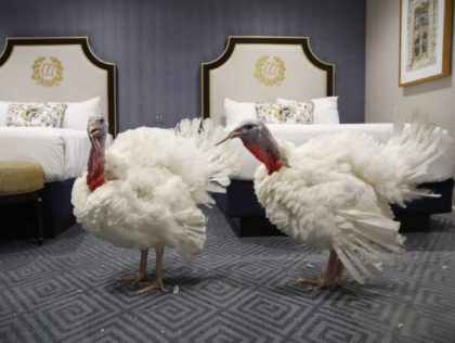 Two turkeys from South Dakota get comfortable in their room at the Willard InterContinental Hotel, after their arrival Sunday Nov. 18, 2018, in Washington. The turkeys will be pardoned by President Donald Trump during a ceremony at the White House ahead of Thanksgiving. (AP Photo/Jacquelyn Martin)