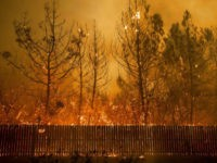 Flames climb trees as the Camp Fire tears through Paradise, Calif., on Thursday, Nov. 8, 2018. Tens of thousands of people fled a fast-moving wildfire Thursday in Northern California, some clutching babies and pets as they abandoned vehicles and struck out on foot ahead of the flames that forced the …