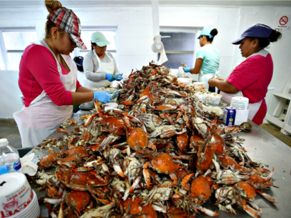 Pickers at the W.T. Ruark Seafood Co., in Hoopers Island, Maryland.
