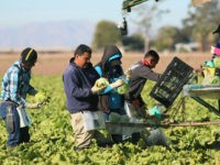 Mexican farm workers harvest lettuce in a field outside of Brawley, California, in the Imperial Valley, on January 31, 2017. Many of the farm workers expressed fears that they would not be able to continue working in the United States under the President Trump's administration. / AFP / Sandy Huffaker …