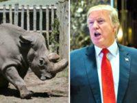 Rhino, Trump