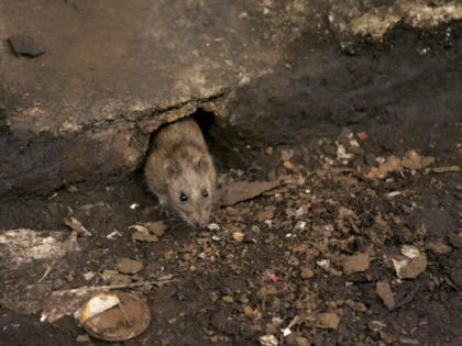 A rat peeks out of a hole at a subway stop before retreating at the arrival of an F train Thursday, Dec. 8, 2005, in the Brooklyn borough of New York. The New York City Rodent Control Academy has opened as part of its war on rats to teach city …