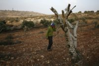 Palestinian farmer Mahmud Abu Shinar says the sight of severed olive trees has become a familiar one