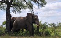 African elephants, the largest land animals on Earth, sometimes live into their seventies. They are famously social animals, living in complex communities and forging relationships that can last a lifetime