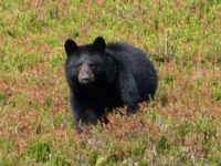 'Hunter' Kills Famous Black Bear that Survived Wildfire