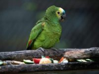 Parrot eating snacks