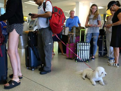 FILE- In this Aug. 8, 2016, file photo, a dog named Jazzy waits in line with Delta passengers at a ticket counter in Newark Liberty International Airport in Newark, N.J. If your pet must travel, experts say that the cabin is safer than the cargo hold. Pets too large to …