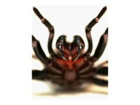 A Funnel Web spider is pictured at the Australian Reptile Park January 23, 2006 in Sydney, Australia. The Funnel Web is one of Australia's deadliest animals, with a venom that is packed with at least 40 different toxic proteins. A bite from a Funnel Web causes massive electrical over-load in …