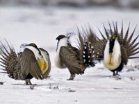 FILE - In this April 20, 2013 file photo, male greater sage grouse perform mating rituals for a female grouse, not pictured, on a lake outside Walden, Colo. In an abrupt reversal, the Pentagon now says it supports a Republican proposal in a defense policy bill that would bar the …