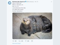 An aquarium apologized after tweeting about a fat Otter