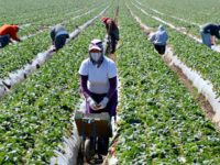 Washington Post: Farm Industry Is Being Forced to Replace Illegal Workforce