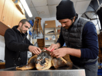A worker removes barnacles off an injured loggerhead sea turtle at the Israel Sea Turtle Rescue Center of the Israeli National and Parks Authority in Mikhmoret, Israel, Jan. 20, 2019. The ten year old center is located on the Mediterranean Sea and saves sea turtles that have washed ashore on …