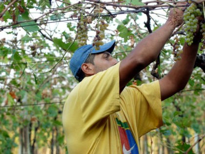 In this Sept. 14, 2007 file photo, a worker picks grapes for harvest in the vineyards of Castelcerino, above the village of Soave, Northern Italy. The Italian wine grape harvest season has started with the picking of Pinot and Chardonnay grapes in the northern region of Franciacorta, anticipating a better …