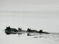 Four wild hogs swim across a body of water in the Merritt Island National Wildlife Refuge near the Space Shuttle Endeavour at Kennedy Space Center July 10, 2009 in Cape Canaveral, Florida. The hogs roam free inside of the refuge, 140,000 acres made up of coastal dunes, saltwater estuaries, marshes, …