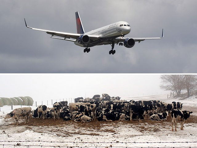 airplane-cows-getty