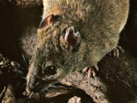 Aussies: Climate Change Drives First Mammal to Extinction