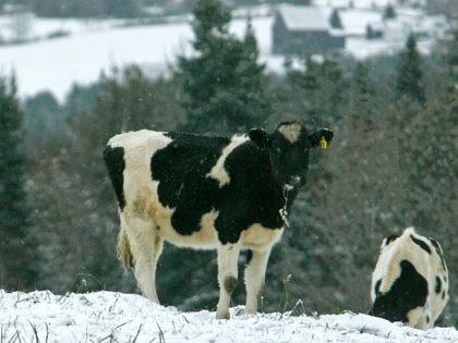 'Tudder' Is Tinder… for Cows
