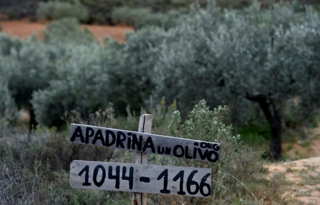 Adopt an olive tree -- and breathe new life into Spanish village