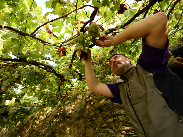Winemaker Cesare Scorza harvests grapes in the village of Manarola in the 'Cinque Terre' area on September 23, 2013. Wine picking is atypical due to the steep land, close to 50 degrees in some areas. AFP PHOTO / OLIVIER MORIN (Photo credit should read OLIVIER MORIN/AFP/Getty Images)