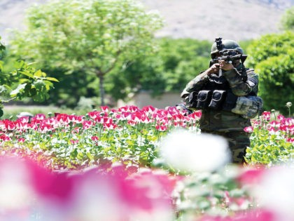 An Afghan National Army commando with 3rd Company, 1st Special Operations Kandak, looks through his scope as he patrols through a poppy field during a clearing operation in Khugyani district, Nangarhar province, Afghanistan, May 9, 2013. Afghan and coalition forces conducted the operation in order to disrupt insurgent networks and …