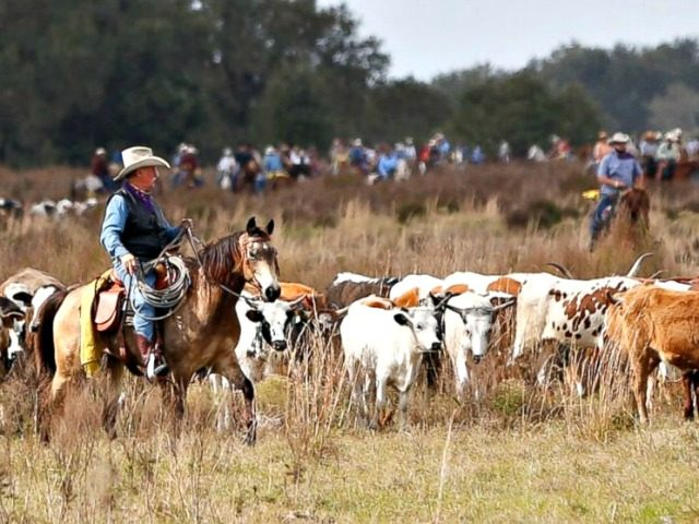 Cattle Drive Wilfredo LeeAP Photo