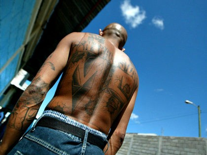 Tegucigalpa, HONDURAS: An unidentified member of the Mara Salvatrucha 'MS-13' (juvenile gang) shows his tatoos in the unit where he is kept imprisioned in the National Penitentiary in Tamara, 30km north of Tegucigalpa, 01 February 2006. AFP PHOTO/Elmer MARTINEZ (Photo credit should read ELMER MARTINEZ/AFP/Getty Images)