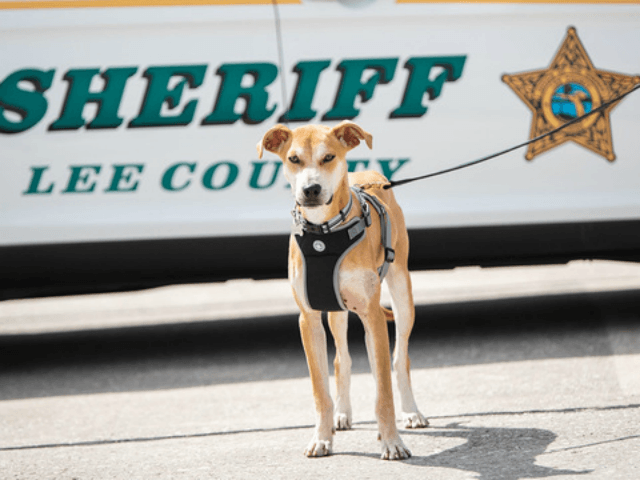 FORT MYERS, Fla. (FOX 13) - A dog found with his mouth taped shut in southwest Florida has been given a second chance and is now officially a deputy for the Lee County Sheriff's Office.