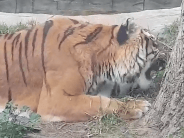 HEARTBREAKING images show miserable tigers, bears and monkeys languishing in an abandoned zoo two months after it closed have sparked outrage. Activists say the animals left at The Parque Zoologico Prudencio Navarro on Spain's Costa de la Luz are at the brink of death.