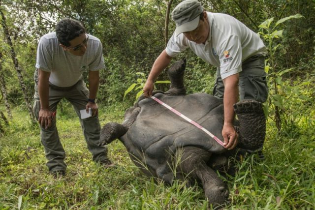 Conservationists release 155 giant tortoises on Galapagos island