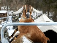 You've got to be kidding! US town elects goat as 'mayor'