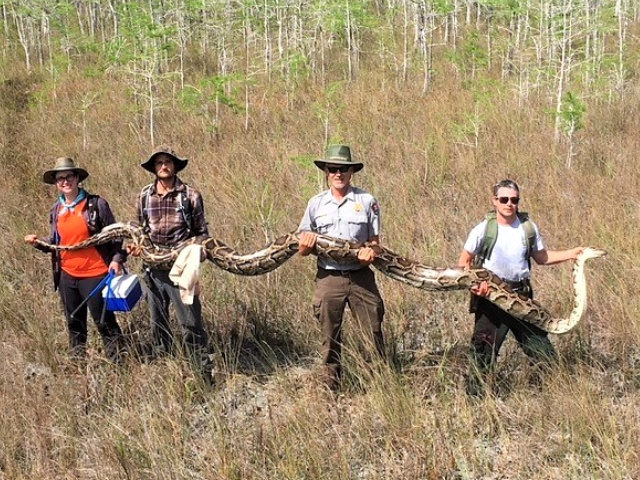 Big Cypress National Preserve record-breaking female python.