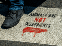 "A person walks on a vegan slogan painted on a crosswalk and reading ""animals are not ingredients"", in a street of Lille, northern France, on August 2, 2018. (Photo by PHILIPPE HUGUEN / AFP) (Photo credit should read PHILIPPE HUGUEN/AFP/Getty Images)"
