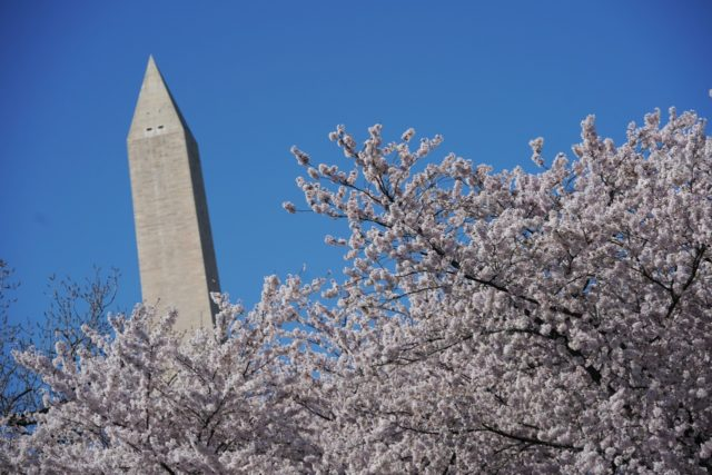 The Washington monument is seen through cherry blossoms at the tidal basin on April 1, 2019 in Washington, DC. (Photo by MANDEL NGAN / AFP) (Photo credit should read MANDEL NGAN/AFP/Getty Images)