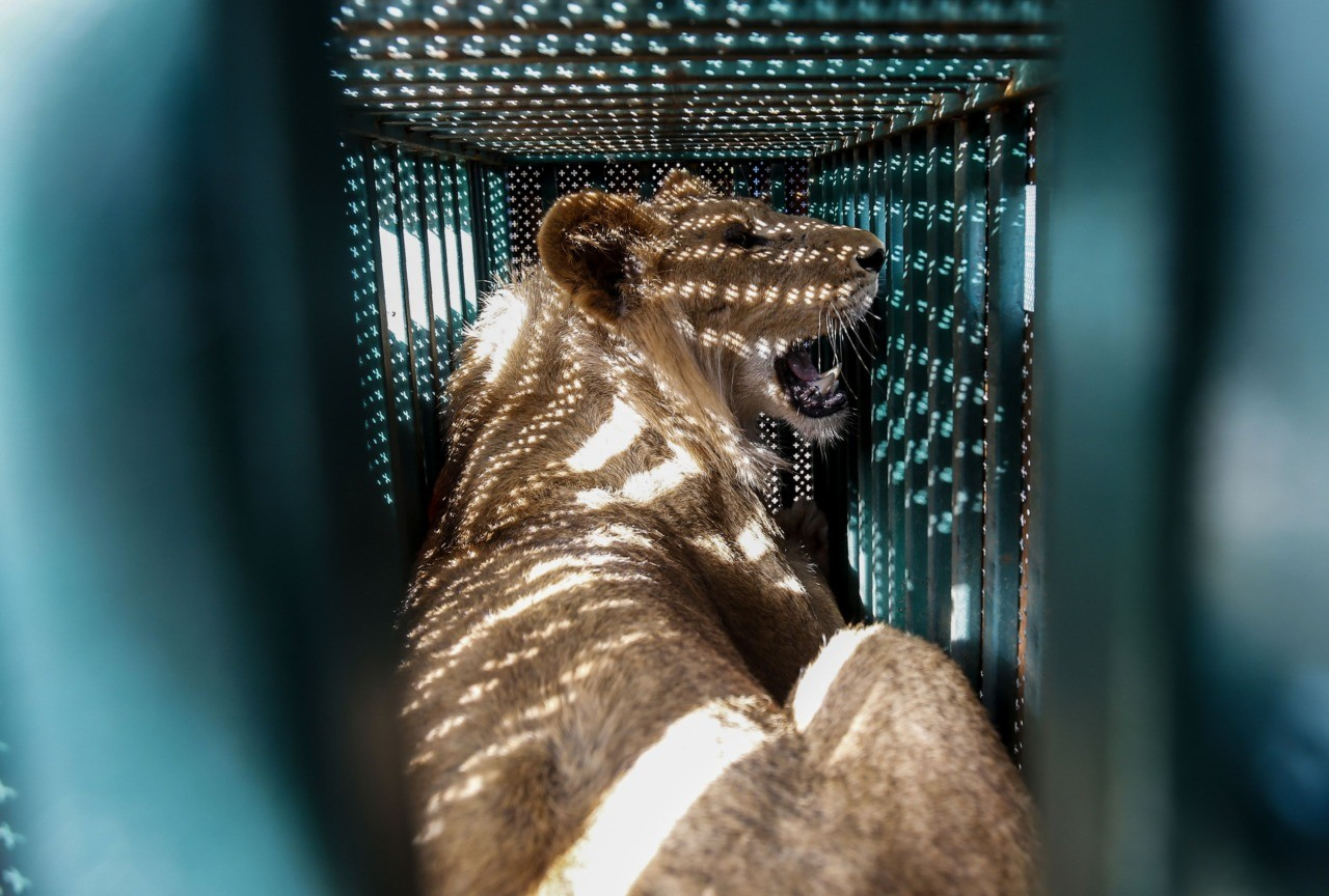 "A sedated lioness is pictured in a cage at a zoo in Rafah in the southern Gaza Strip, during the evacuation by members of the international animal welfare charity ""Four Paws"" of animals from the Palestinian enclave to relocate to sanctuaries in Jordan, on April 7, 2019. - Forty animals including five lions are to be rescued from squalid conditions in the Gaza Strip, an animal welfare group said. The zoo hit the headlines in February this year when the cash-strapped owner revealed he had declawed one of the lions there, so that customers could pay to play with her. (Photo by SAID KHATIB / AFP)        (Photo credit should read SAID KHATIB/AFP/Getty Images)"
