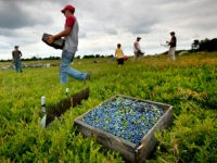 ILE - In this Friday, July 27, 2012, file photo, workers harvest wild blueberries at the Ridgeberry Farm in Appleton, Maine. Maine's governor and members of its blueberry industry fear losing growers due to a depression in prices that has made growing the beloved crop a less reliable way to …