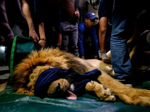 Members of the international animal welfare charity 'Four Paws' check on a sedated lion at a zoo in Rafah, in the southern Gaza Strip, on April 6, 2019, as they prepare to evacuate the animal out of a zoo in the Palestinian enclave and relocate it to sanctuaries in Jordan. …