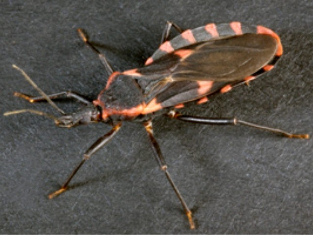 'Kissing Bug' related to fatal disease confirmed to be in Delaware