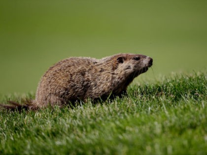 ARDMORE, PA - JUNE 14: A groundhog is seen on the sixth fairway during Round Two of the 113th U.S. Open at Merion Golf Club on June 14, 2013 in Ardmore, Pennsylvania. (Photo by Ross Kinnaird/Getty Images)