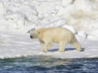 A polar bear dries off after taking a swim in the Chukchi Sea in Alaska. (Brian Battaile/U.S. Geological Survey via AP, File/AP Photo/Dan Joling, File)