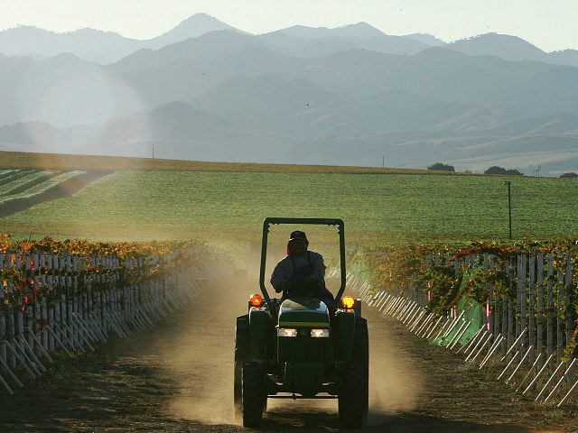 A farm worker drives a tractor through the a vineyard during harvest 09 October 2006 at the Byron Vineyard and Winery in Santa Maria, California. Cooler weather earlier this year delayed the ripening of grapes at many Central Coast vineyards. (Photo credit should read ROBYN BECK/AFP/Getty Images)