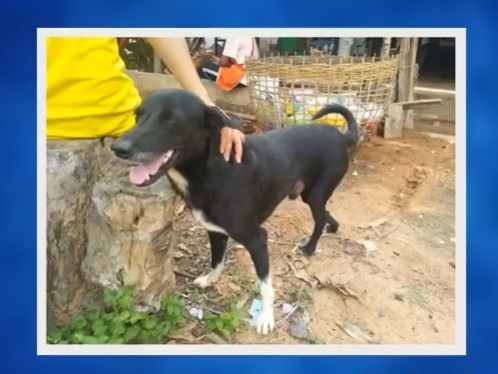 A disabled dog named Ping Pong is the toast of his village in north-east Thailand, after rescuing a newborn boy who had been buried alive by his teenage mother.