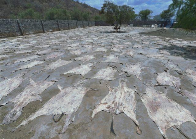 Activists urge Kenya to halt 'horrific' donkey skin sales to China
