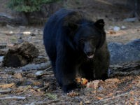 A black bear scavenges for food beside tourists near the famous General Sherman tree at the Sequoia National Park in Central California on October 10, 2009.