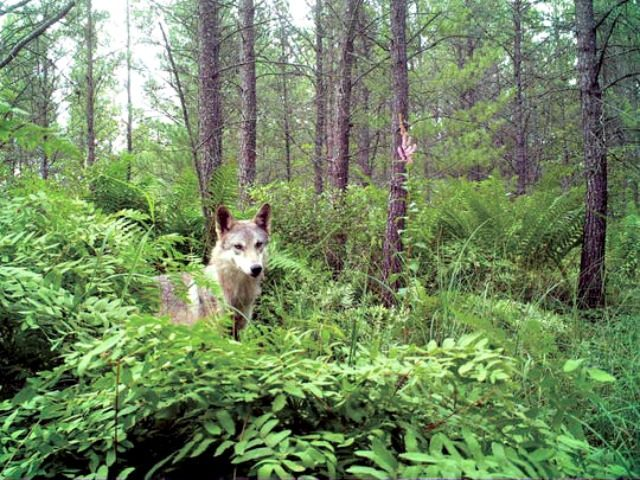 Grey Wolf, Wisconsin