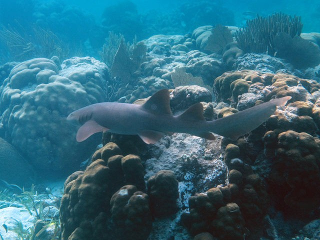 A Nurse Shark (Ginglymostoma cirratum) is seen at the Hol Chan Marine Reserve coral reef in the outskirts of San Pedro village, in Ambergris Cay, Belize, on June 7, 2018. - Backed by legislation passed in 2017, Belize is taking steps to ensure that its reef barrier, the second largest …