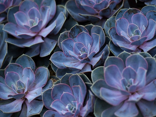 "Echeveria is shown in the ""Frida Kahlo: Art, Garden, Life"" exhibit at the Haupt Conservatory at the New York Botanical Garden May 21, 2015 in New York. AFP PHOTO/DON EMMERT (Photo credit should read DON EMMERT/AFP/Getty Images)"